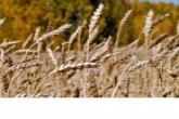 Андрей Травников: Регион будет полностью обеспечен зерном
