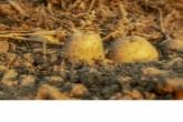 Картофель высаживают в регионе при помощи экспериментальных технологий в ходе посевной кампании – 2020