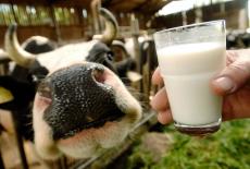 Объемы реализации молока в Новосибирской области превышают прошлогодний показатель