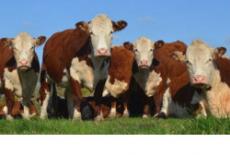 Больше мяса и молока станут производить в регионе благодаря высоким темпам развития племенного животноводства