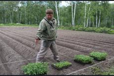 Сажать картошку рассадой будут сибирские овощеводы