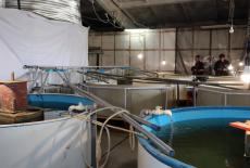 Рыбный гибрид пелчирмук выведен в Новосибирской области при помощи господдержки