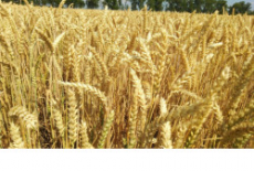 Регион получит дополнительные федеральные средства на поддержку производителей зерновых культур