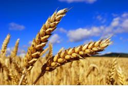 Работа по подготовке семян к яровому севу 2018 года завершается в Новосибирской области