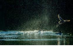 Водоплавающей дичи в Новосибирской области стало больше в полтора раза