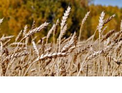 В Новосибирской области уже намолотили первый миллион тонн зерна урожая 2019 года