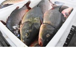 В озерах Новосибирской области стало больше ценных видов рыбы