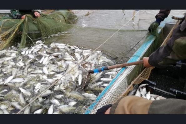 Больше пеляди и сазана смогут добывать рыбохозяйственные организации благодаря областной госпрограмме