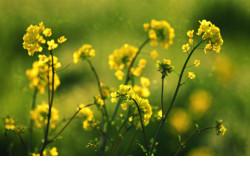 Новосибирская область получит федеральные 58 млн рублей на производство масличных культур