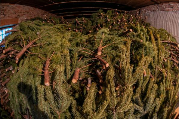 Похитителей новогодних сосен и пихт строго накажут