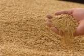 В хозяйствах Новосибирской области ведется подработка семян