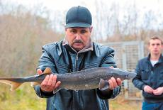 Выращенный в ООО «Новосибирский рыбзавод» двухлеток Сибирского осетра