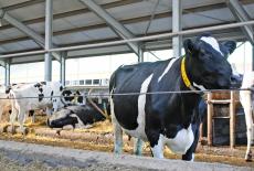 Больная корова даёт больное молоко