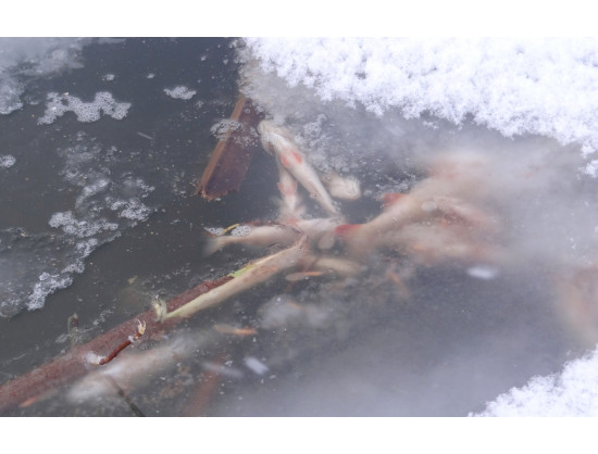 Работы по спасению рыбы от кислородного голодания организованы на подходном канале Новосибирского шлюза